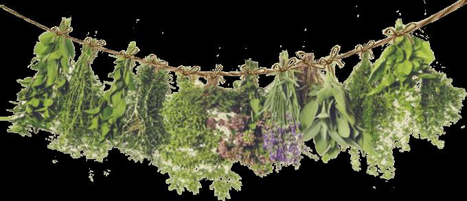 Сбор целебных трав пучками на просушке
