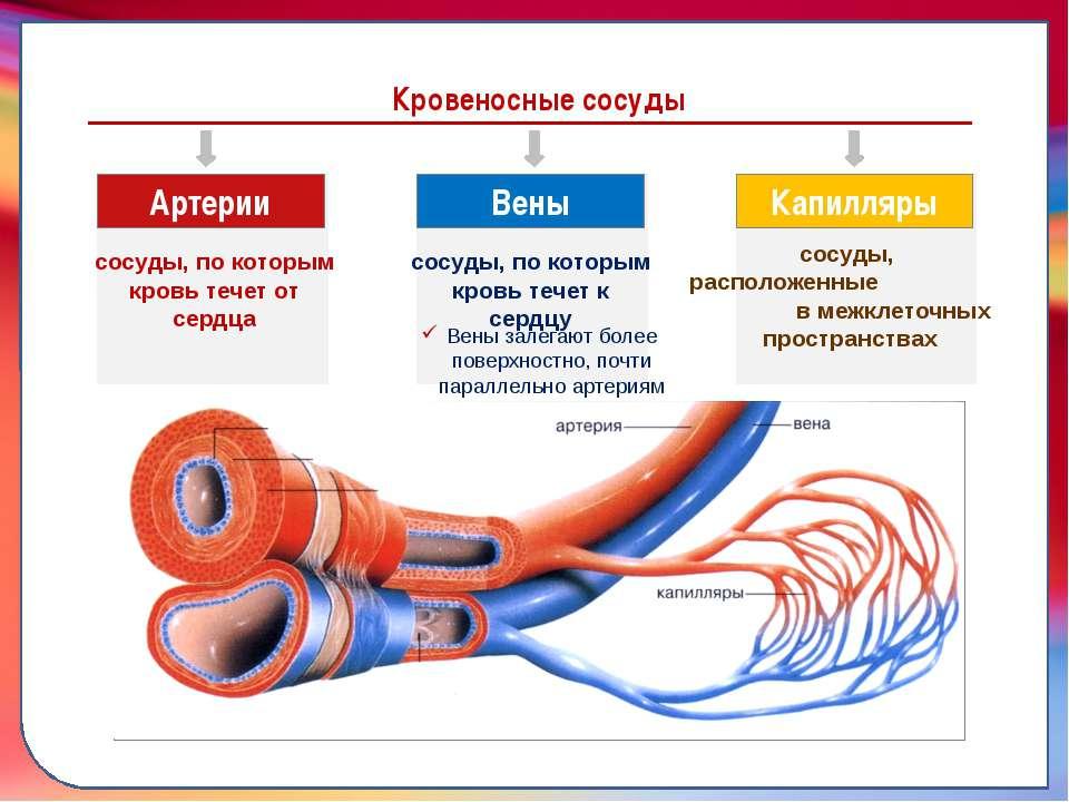 Как выглядят кровеносные сосуды