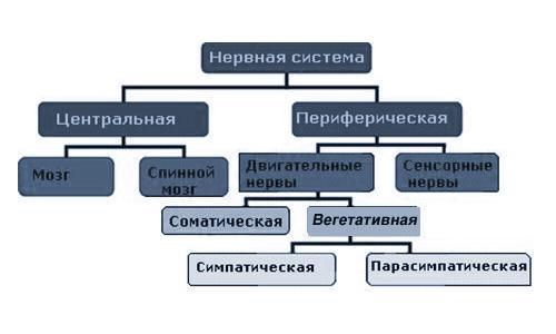 Схема ЦНС