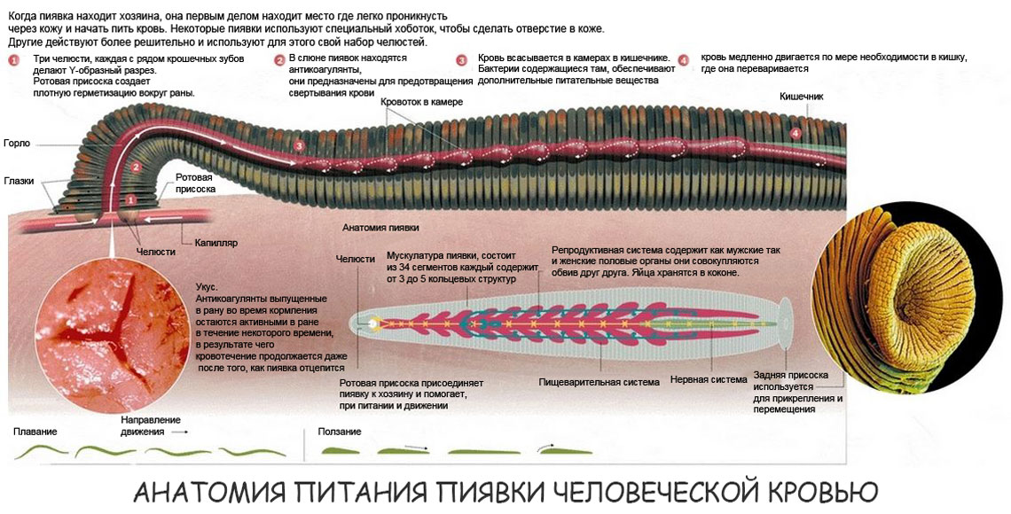 Анатомия пиявки