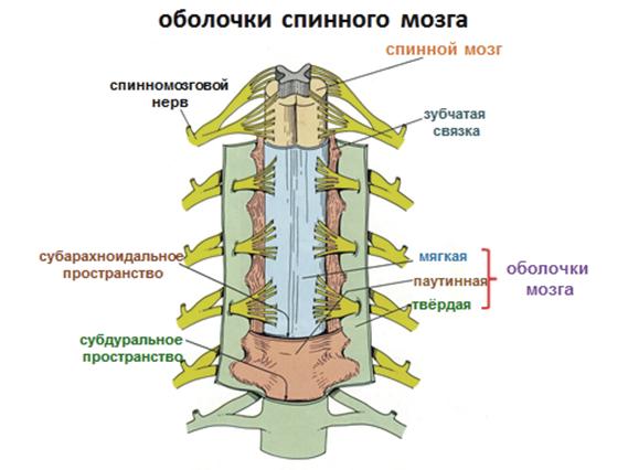 Оболочки спинного мозга схема