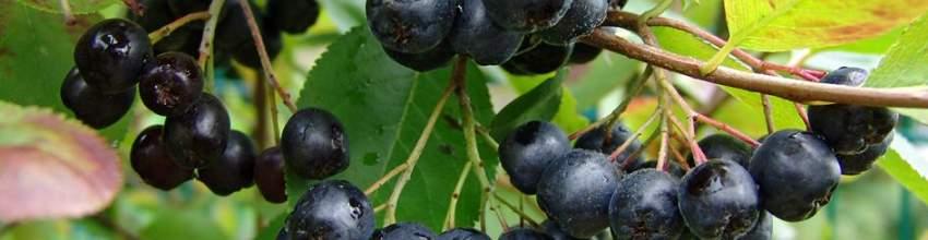 Гипертензия и черноплодная рябина